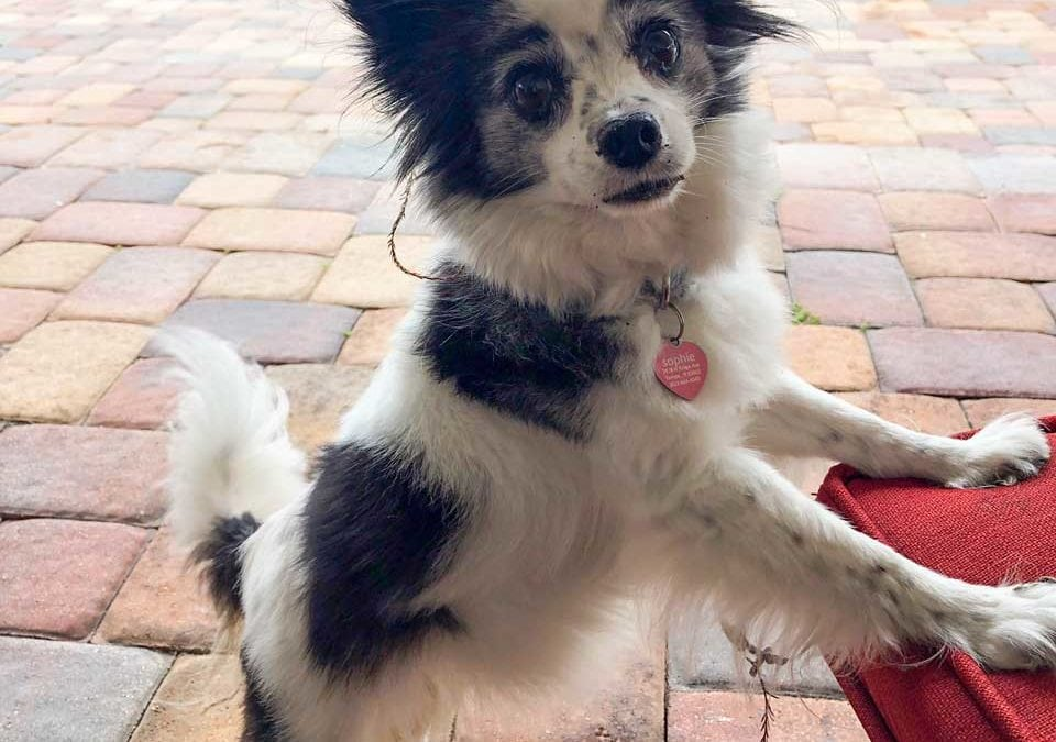 Papillion with Anxiety Can Get Her Teeth Cleaned