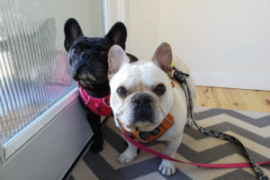 French Bulldogs Dillard and Zoe pose for the camera