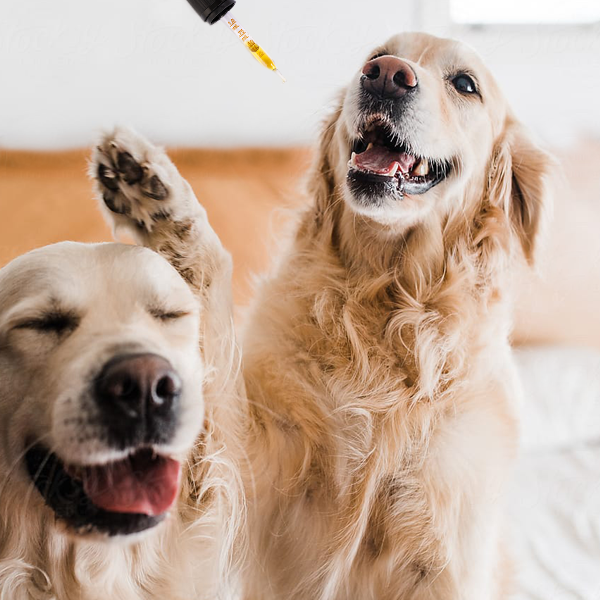 Two Golden Retrievers with smiles on their faces as a pipette of Treatibles 750 mg Organic Full Spectrum Hemp CBD Oil is heading for their mouths