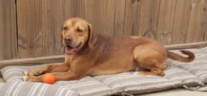 Buddy the Vizsla is awaiting his forever home