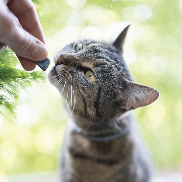 Image of gray tabby cat about to eat a Treatibles Soft Chewable from a person's hand