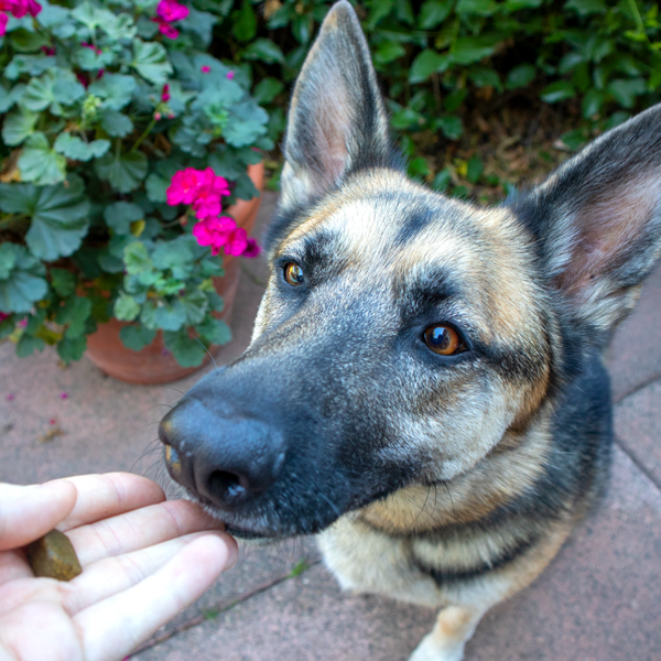 Image of a beautiful German Shepherd standing in front of a pink flower about to eat a Treatibles Soft Chewable out of a person's hand.