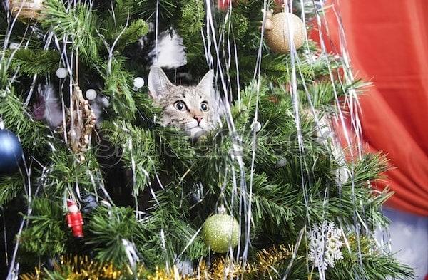 Naughty cat peeking head out of Christmas tree