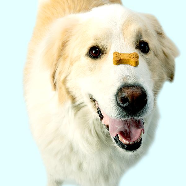 Adorable Golden Retriever balances a Treatibles Balance (pumpkin) Hard Chew on his nose.