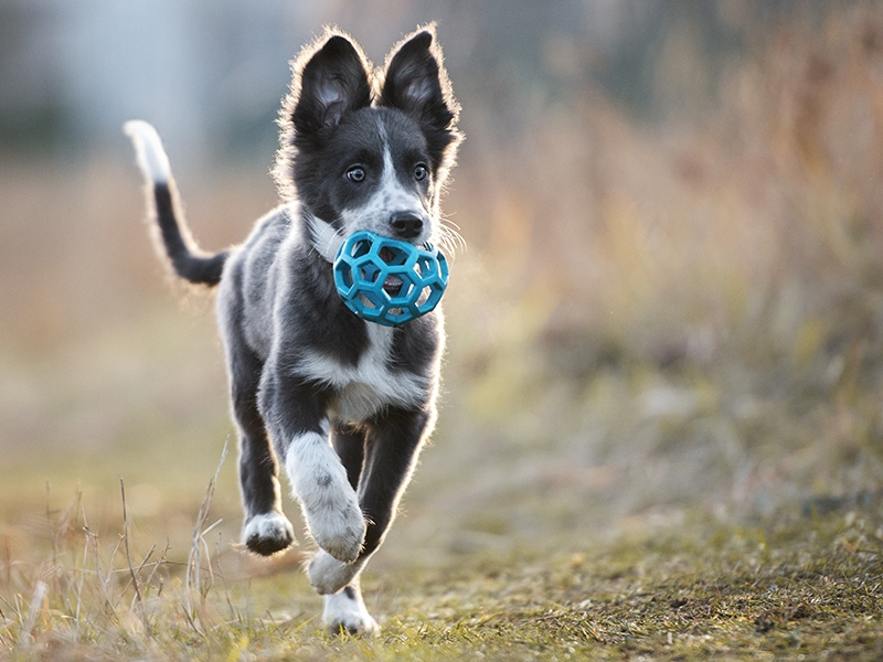 Puppy running outside with new toy