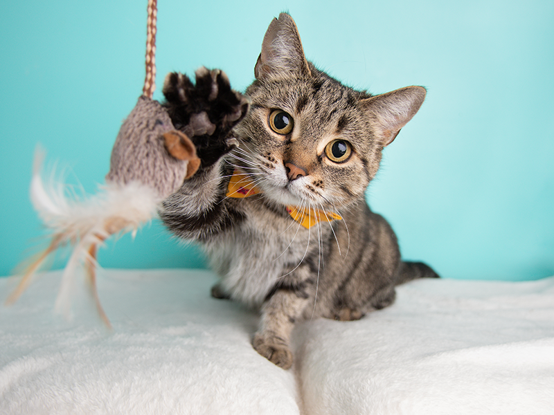 Cute cat batting at feather toy