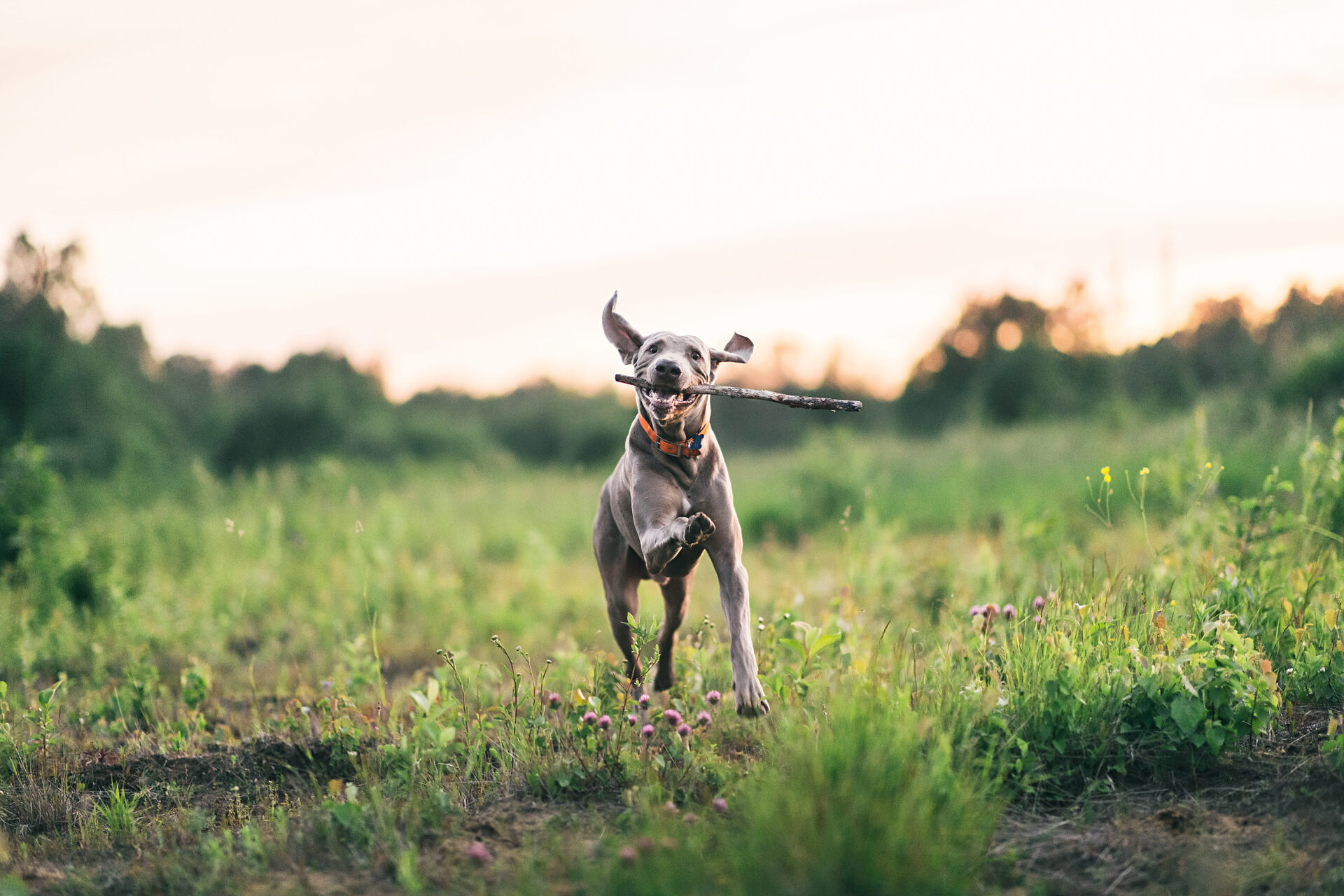 joyful dog playing with whip while walking on green field