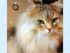 Image of Oden the long haired Siberian Cat with big green eyes