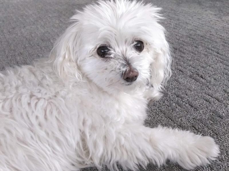 Sissy White Fluffy Dog