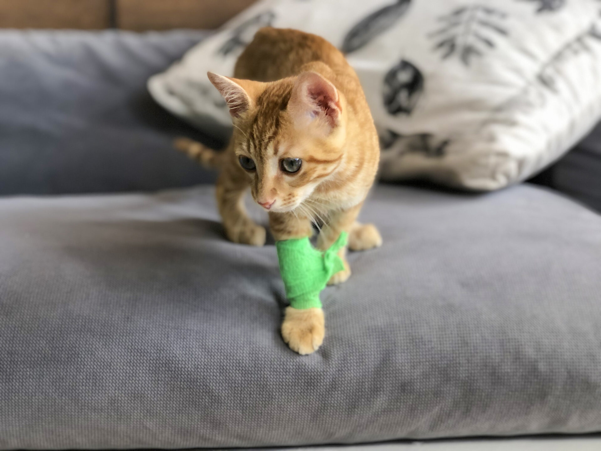 kitty with bandage on her arm showcasing pet first aid awareness month