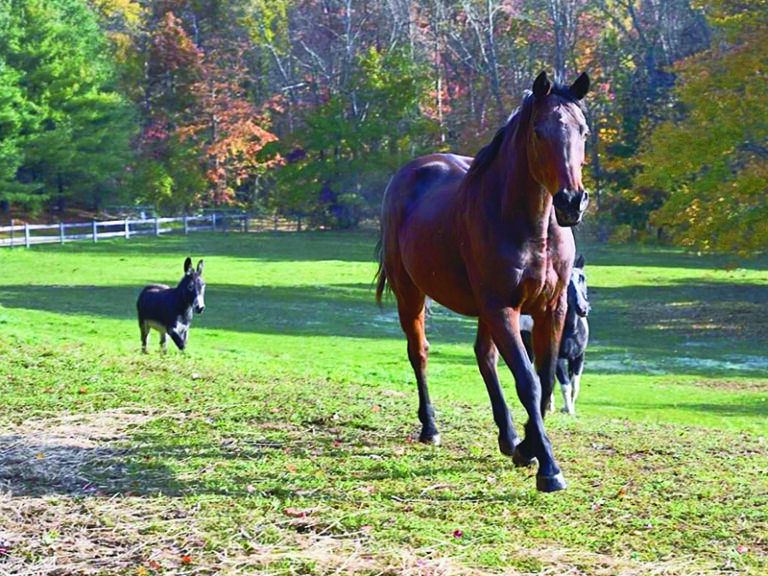 Zinga the horse prances on the grounds of Central New England Equine Rescue