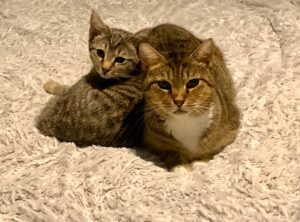 Two tabby cats snuggling happily in their new forever home