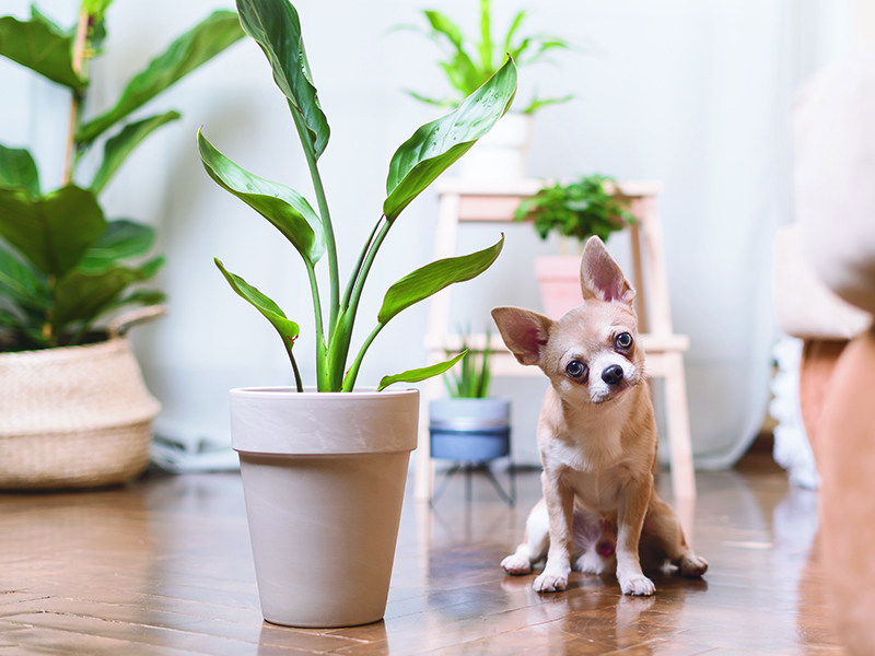 Chihuahua sitting on the floor next to a plant with his head tilted learning about which common plants are toxic to pets