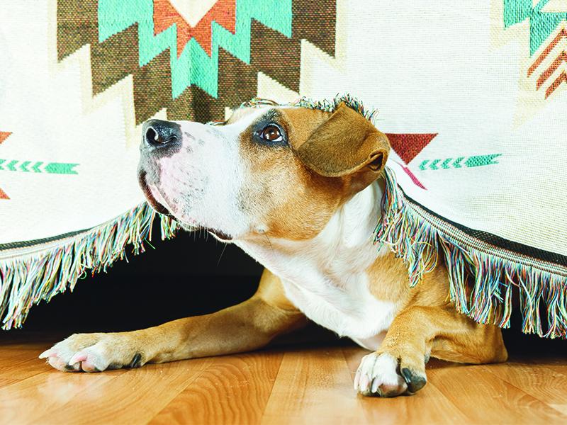 cute dog afraid of fireworks and hiding under a blanket