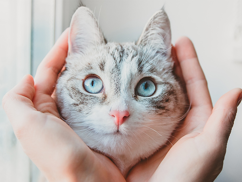 close up image of two hands cradling the face of a gray tabby cat with blue eyes, a pink nose and white mouth and chin