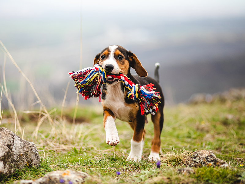 an adorable Beagle mix dog walks proudly with a huge rope toy in his mouth