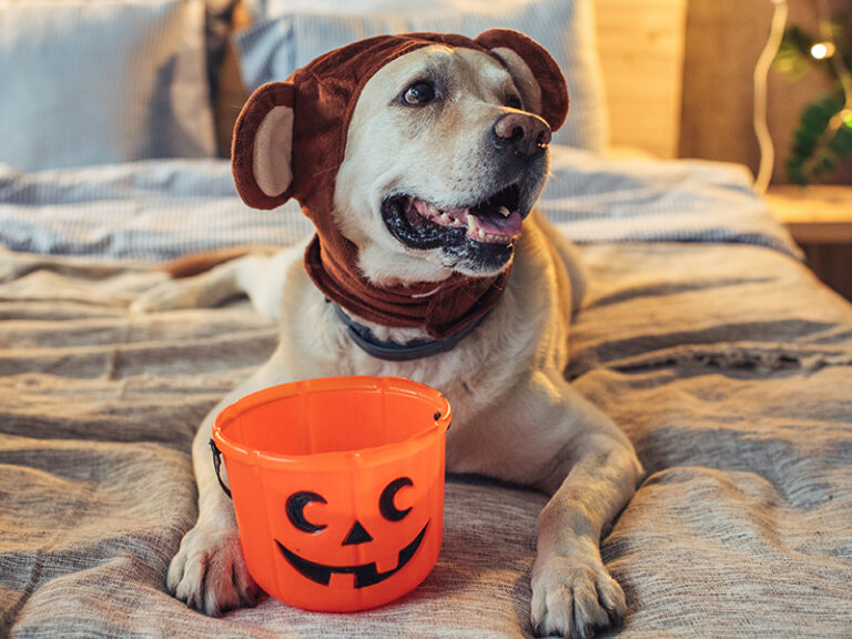 image of a cute dog wearing a costume hat making him look like a baby bear along with a trick-or-treat bucket in front of him